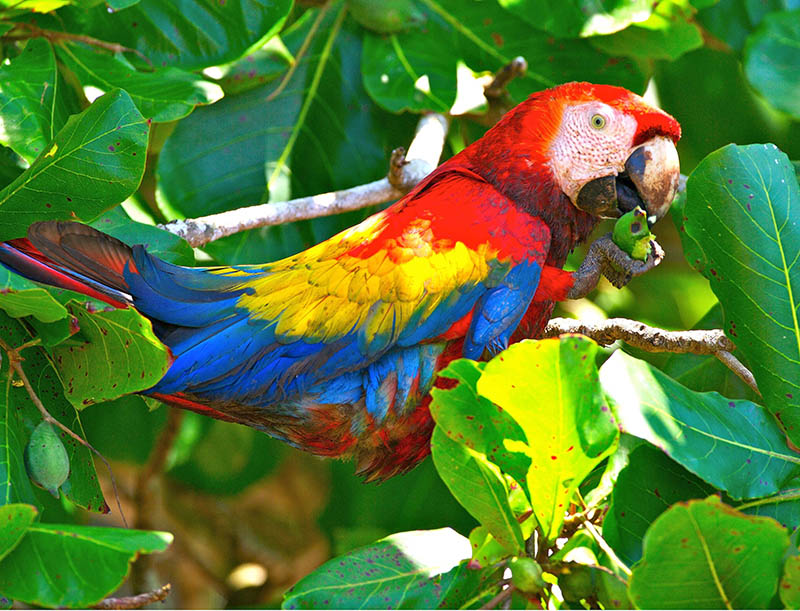 Scarlet Red Macaw's…. Back in Dominical town!!!!