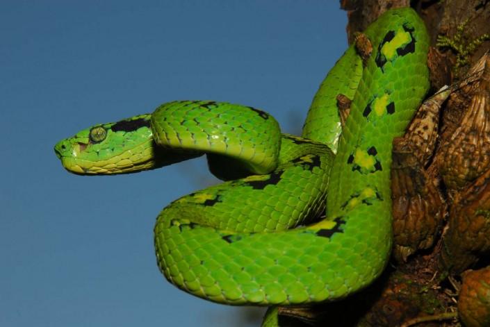 snake-bothriechis-aurifer